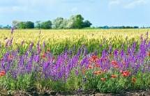 Wild flower strip in field